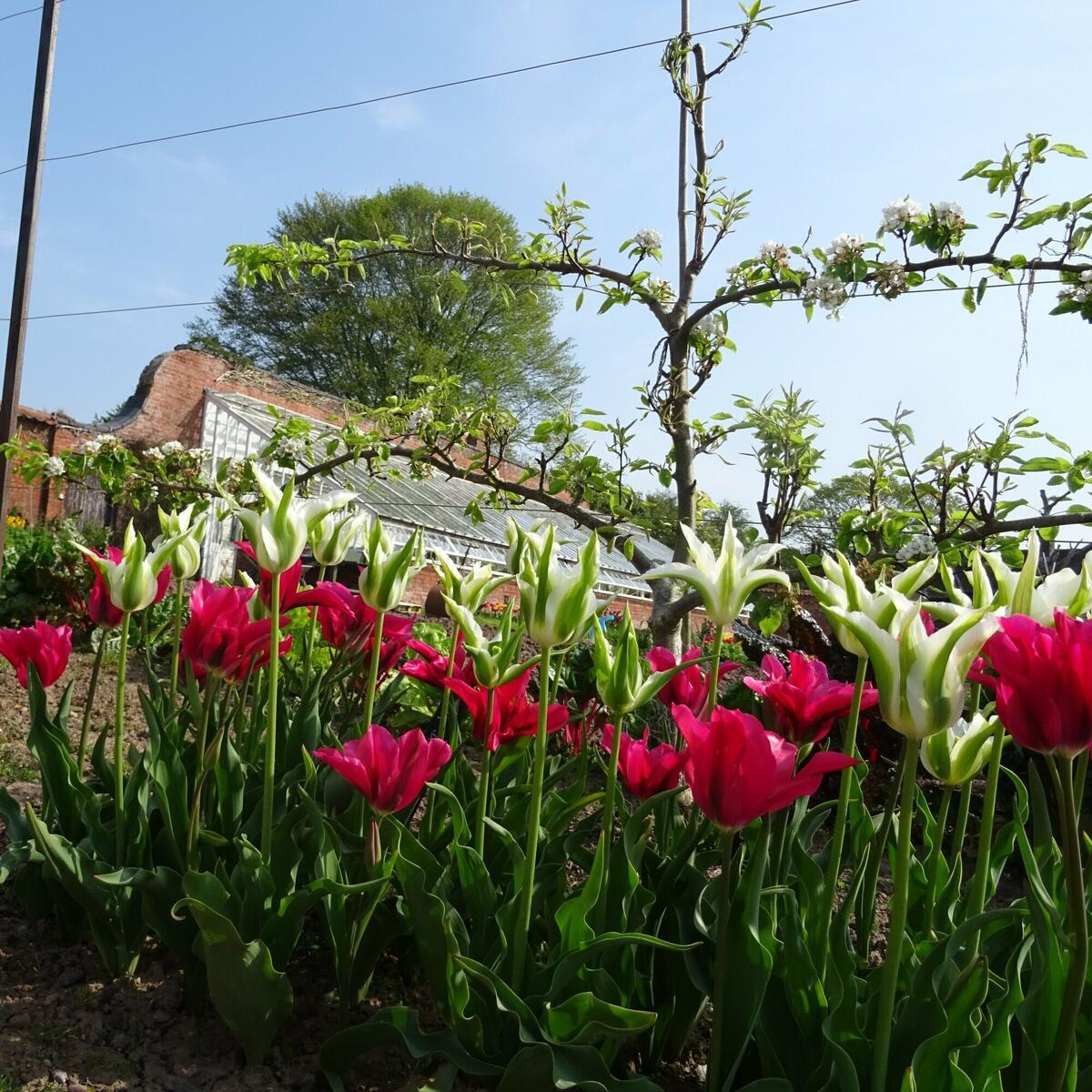 Tulips in the walled garden