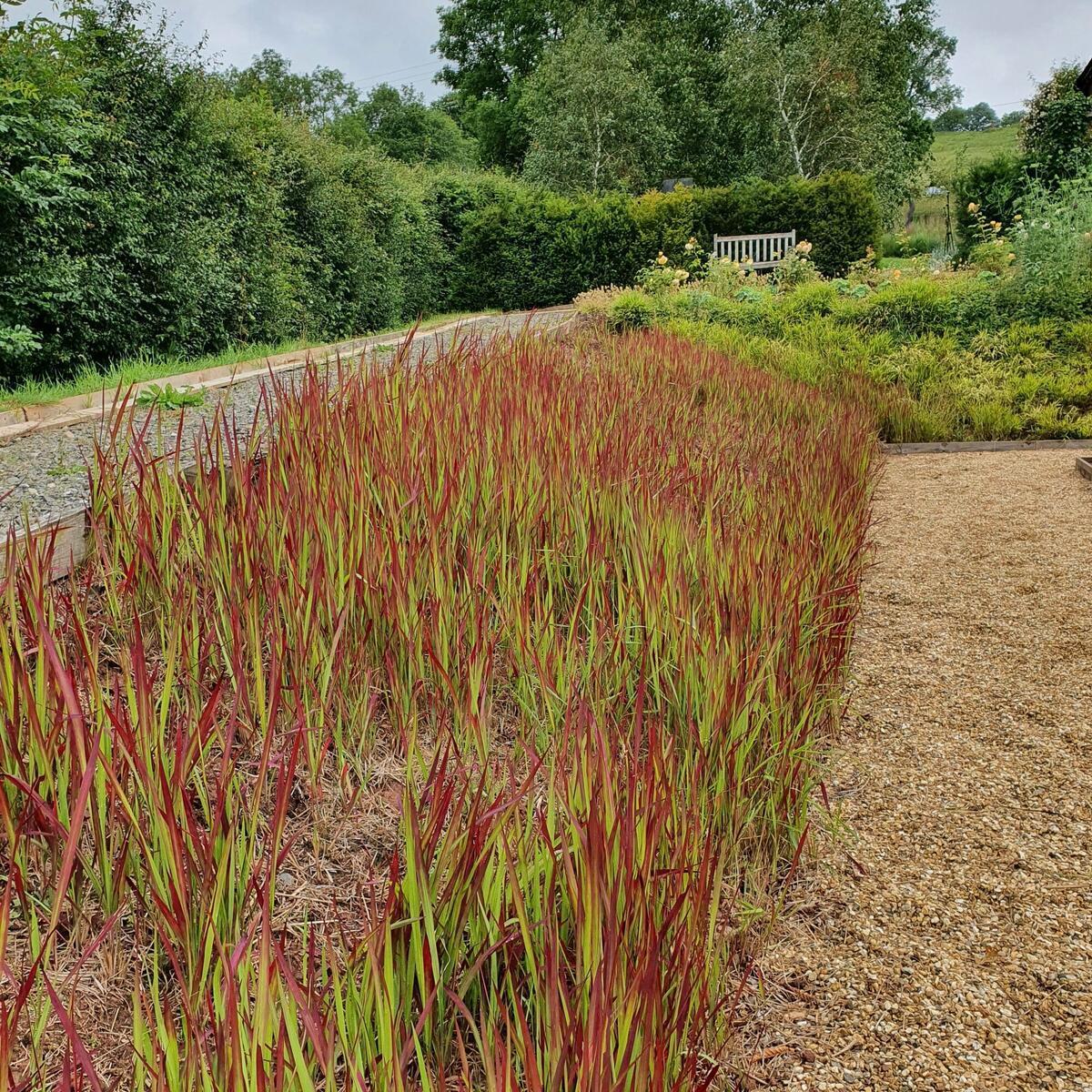 """Imperata """"Red Baron"""" on edge of Parterre garden"""