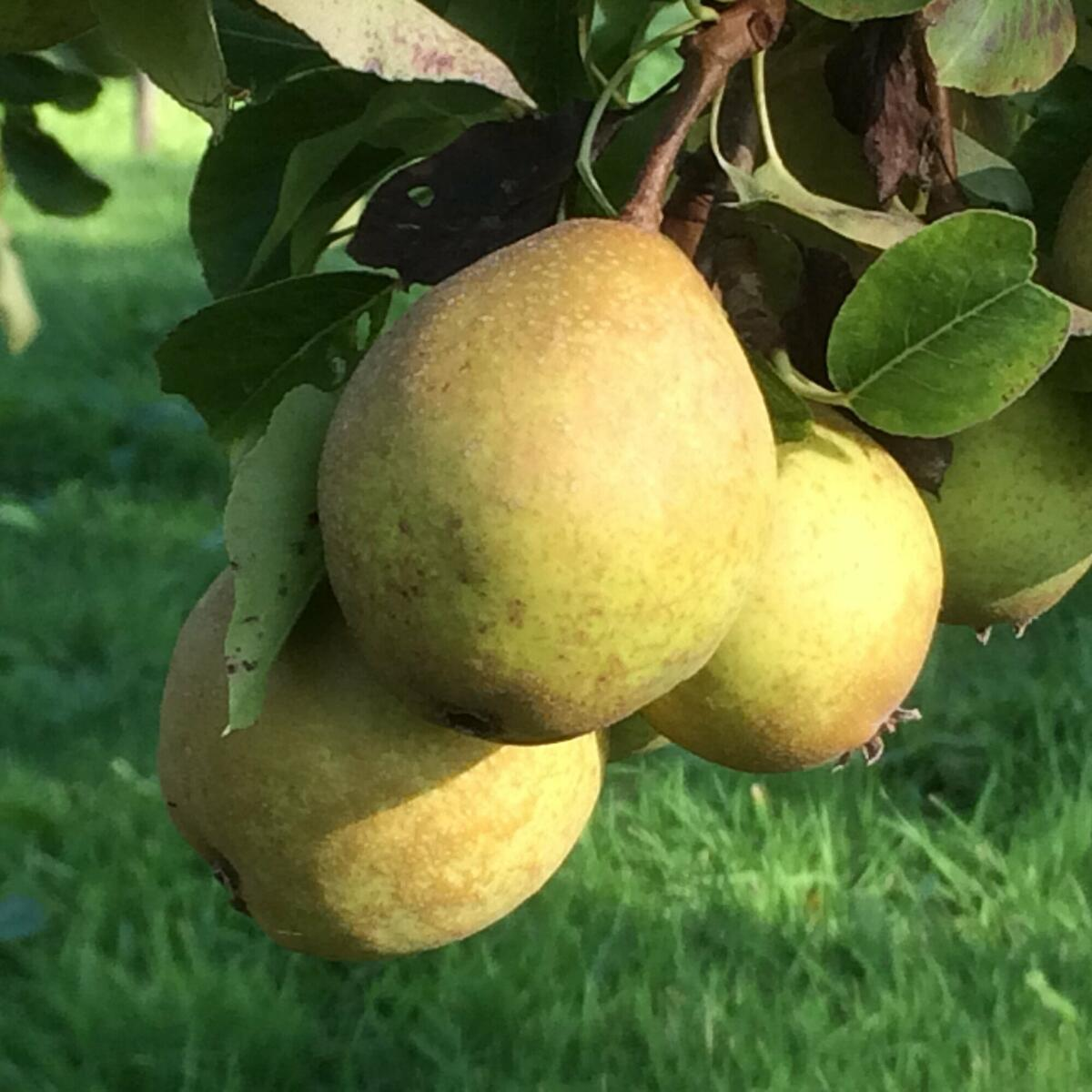 Rare Coppy perry pears in our orchard