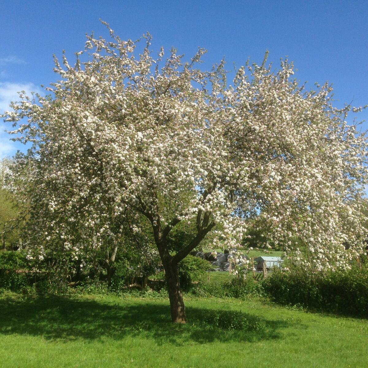 A Bulmers Norman cider apple tree enjoying the sunshine