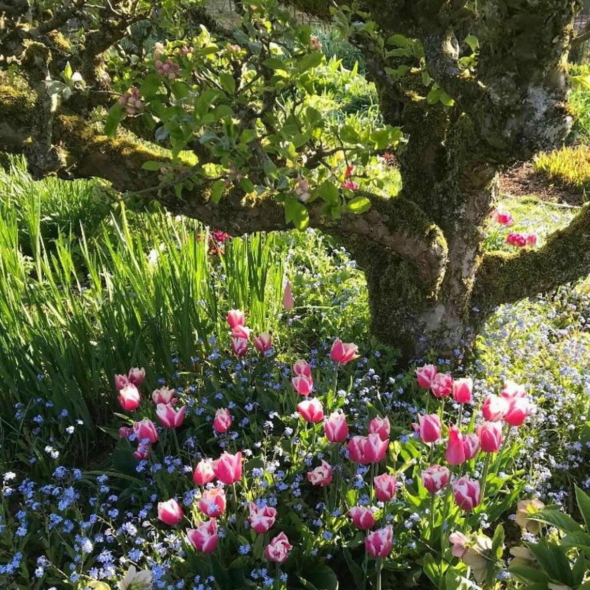Spring flowers under an ancient apple tree
