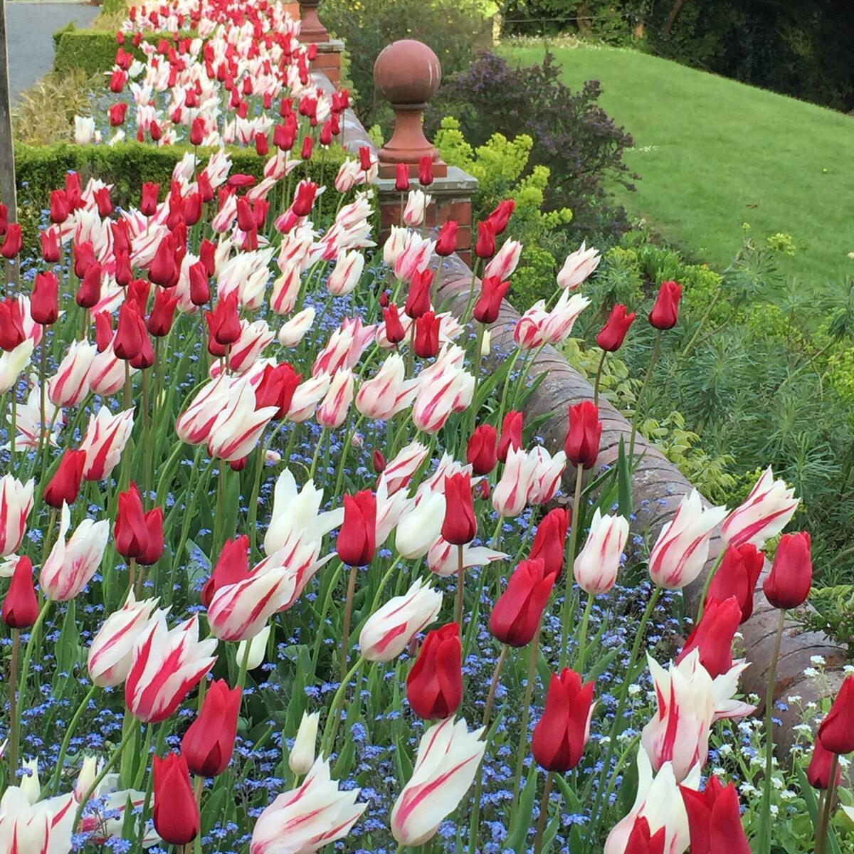 The terrace resplendent with tulips