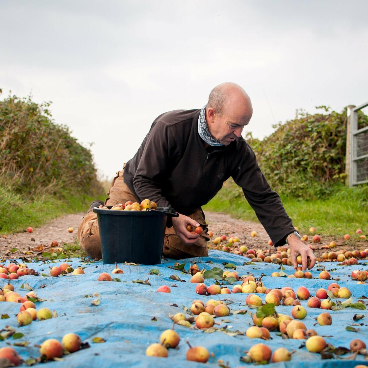 Harvesting Aylton Red perry pears