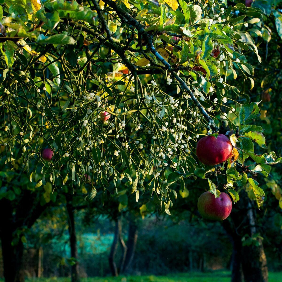 Cider apples and mistletoe