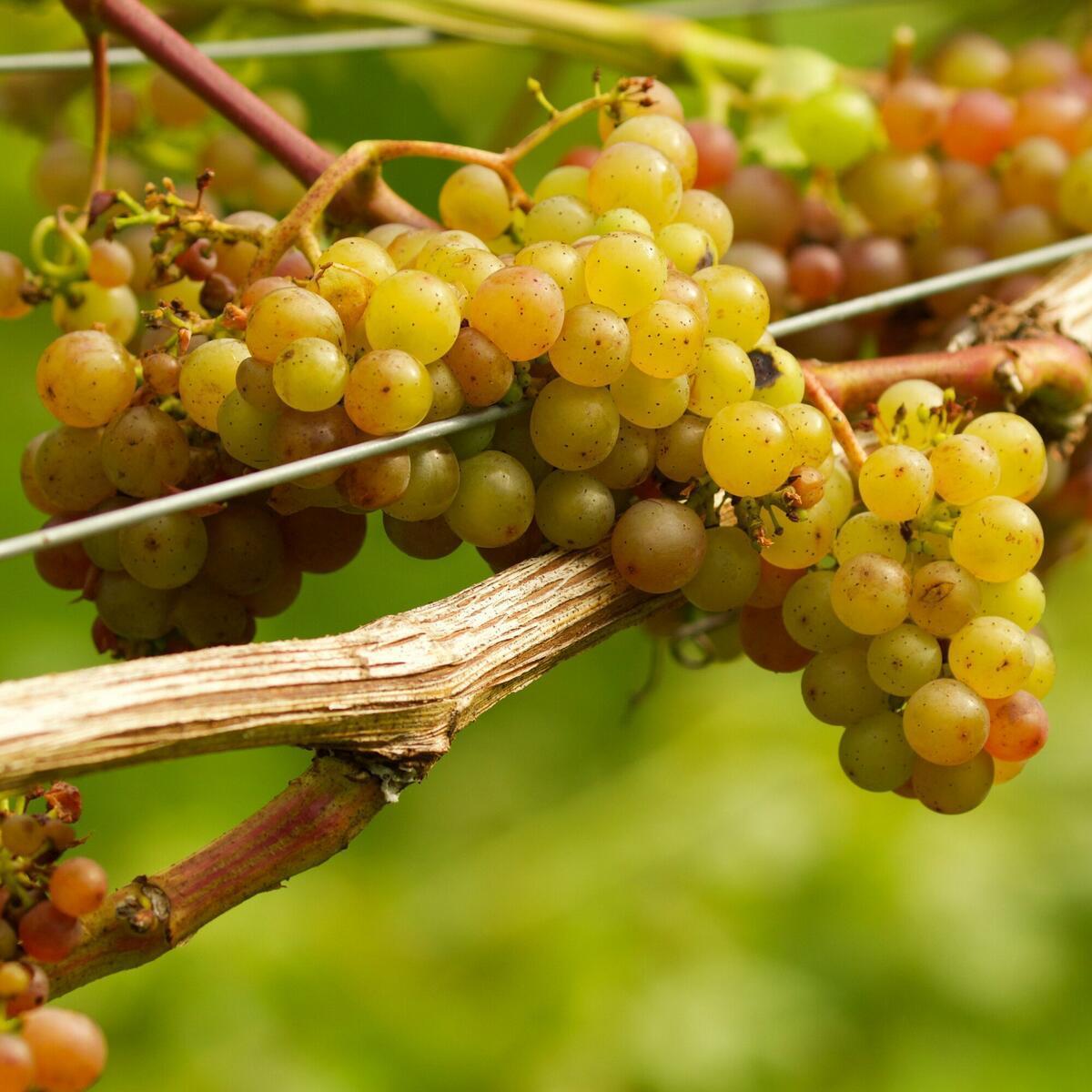 Siegerrebe Grape