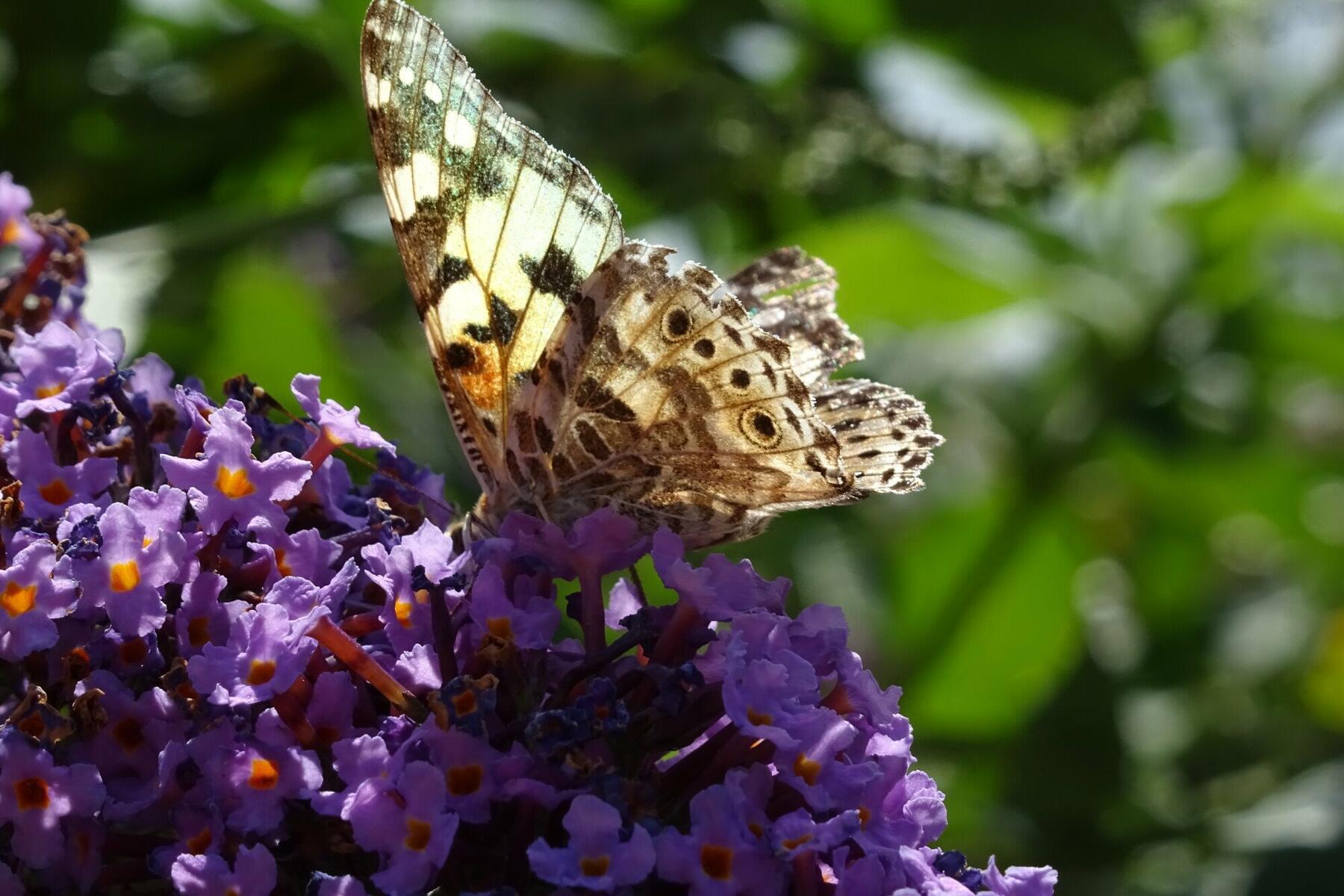 Butterflies on the buddleia