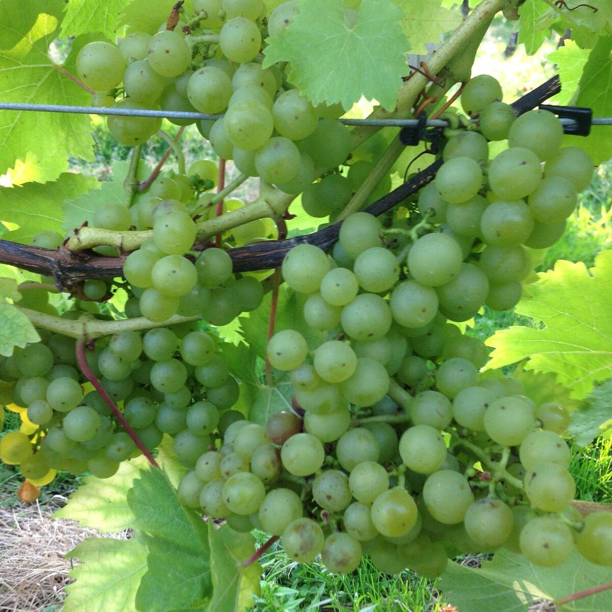 grapes for picking