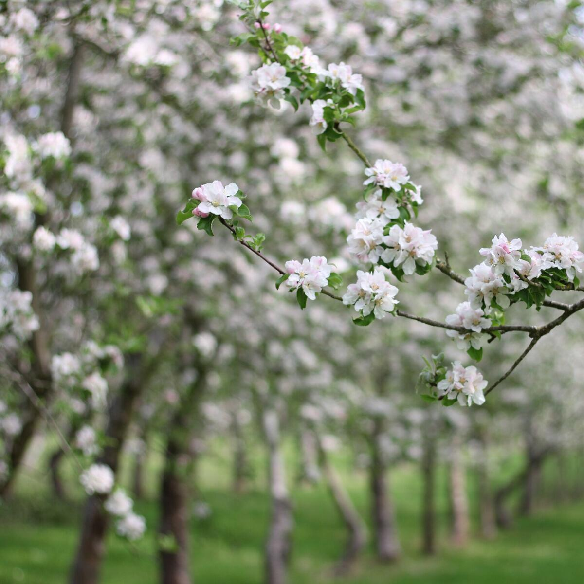 Dabinett apple Blossom about to burst in our Gameoolands Orchard.