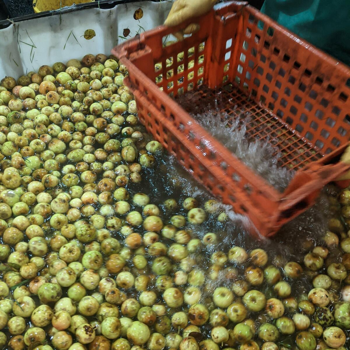 Once the apples or pears come into the cider barn, the first job is to handwash and sort them.
