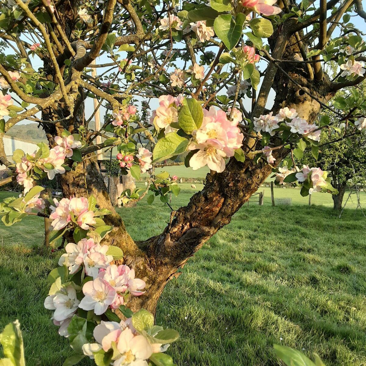 Wonderfully scented apple blossom.