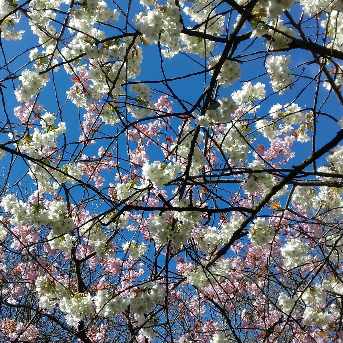 Spring Blossom, Queenswood Arboretum