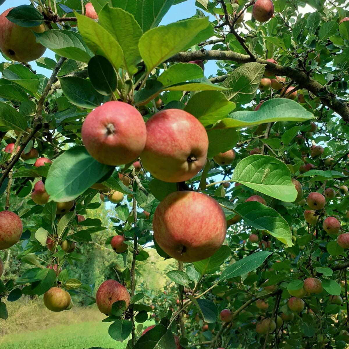 Cider apples ripening in the sun