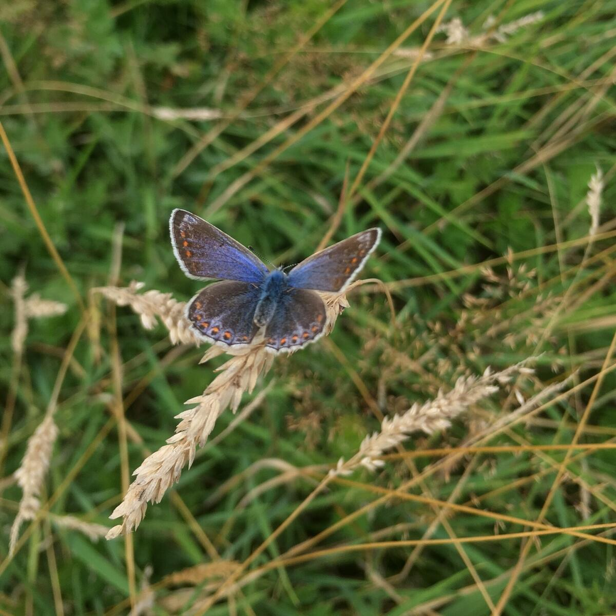 Commom blue butterfly in the Orchard