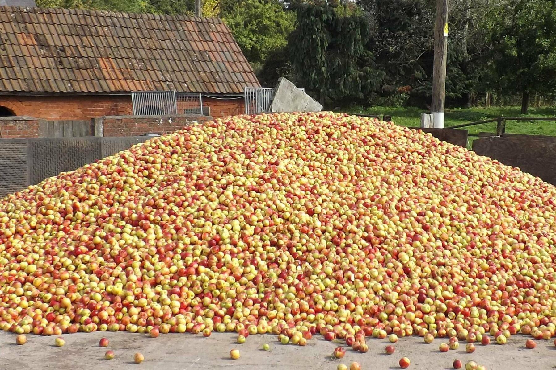 Apple tump