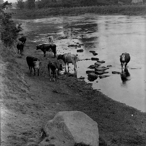 Cattle drinking at Bartonsham Ford, Hereford.